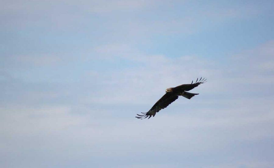 Aquila Reale in volo su Malabotta